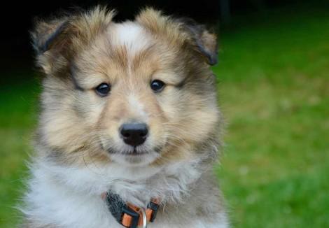 Shetland_Sheepdog_Pup.jpg