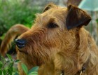 Irish Terriers Face