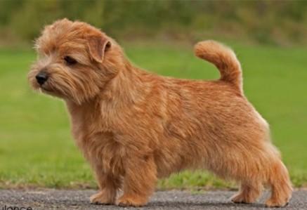 Norfolk-Terrier.jpg