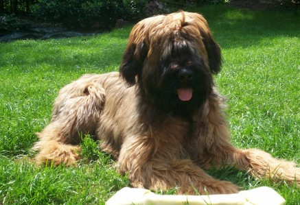Young Briard
