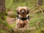 Tibetan Terrier In The Woods