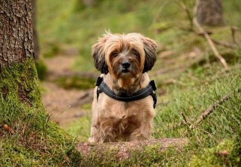 Tibetan Terrier In The Woods