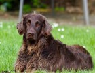 Adult German Longhaired Pointer