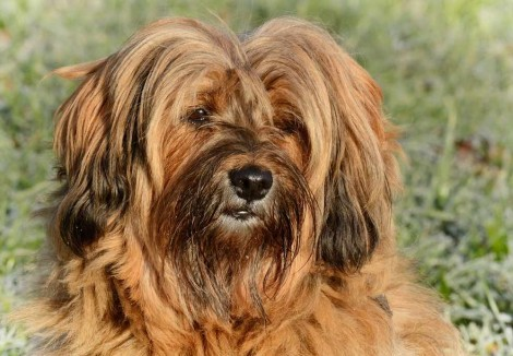 Tibetan Terriers Face