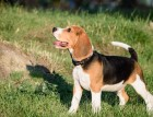 Foxhound Puppy