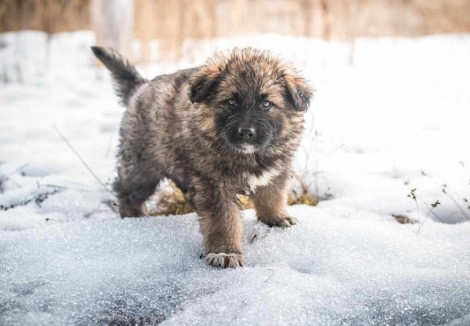 Caucasian Shepherd Dog Puppy