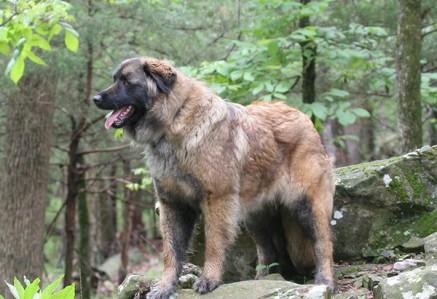 Estrela-Mountain-Dog.jpg