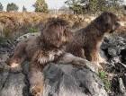 Two Portuguese Sheepdogs