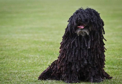 Senior Hungarian Puli