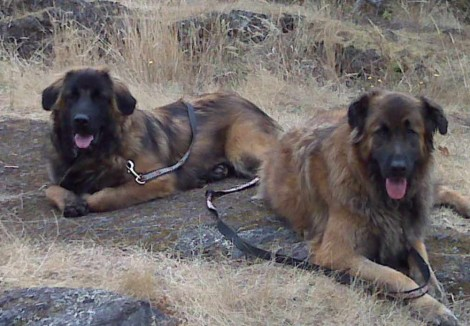 Two Estrela Mountain Dog