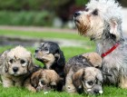 Adult Dandie Dinmont Terrier and Puppies