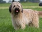 Adult Catalan Sheepdog