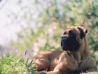 Adult Bullmastiff
