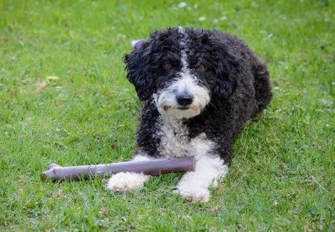 Spanish Water Dog Playing