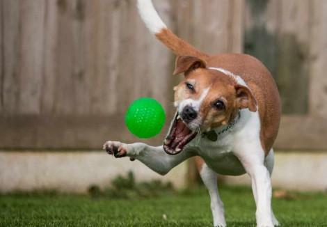 Plummer Terrier Playing