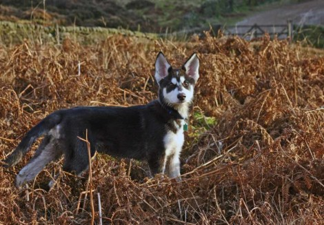Northern Inuit Puppy