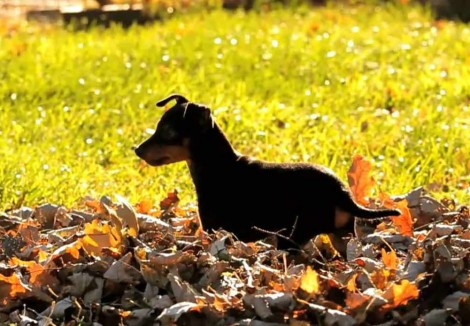English Toy Terrier Puppy