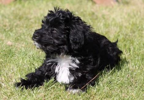 Jackapoo Puppy