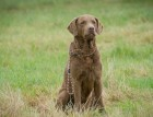 Adult Chesapeake Bay Retriever