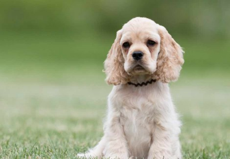 American Cocker Spaniel Puppy Sitting