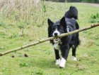 Welsh Collie Playing
