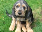 Otterhound_Puppy.jpg