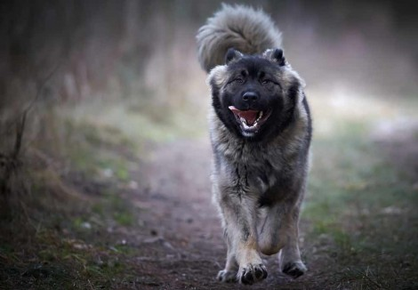 Caucasian Shepherd Dog Running