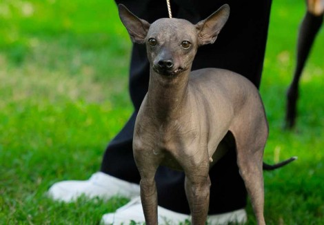 Mexican Hairless Faces