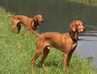Two Hungarian Vizslas