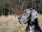 Great Danes Face