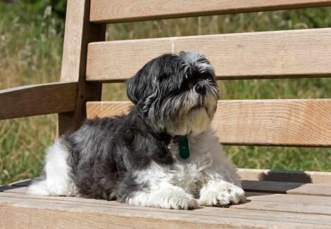 Shih Tzu On Park Bench