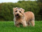 Adult Norfolk Terrier