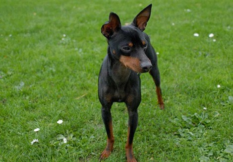 Adult English Toy Terrier