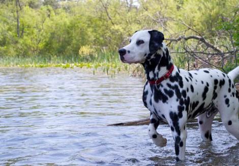 Adult Dalmatian