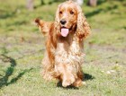 Young Cocker Spaniel