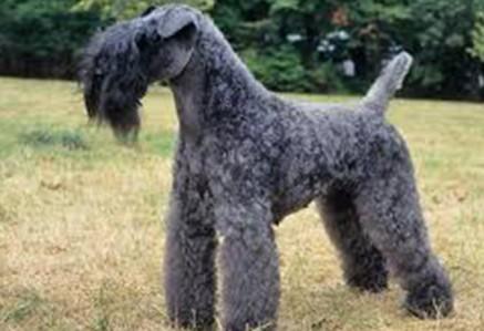 Kerry-Blue-Terrier.jpg
