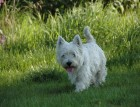 Mature West Highland Terrier