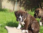 Dorset Olde Tyme Bulldogge Puppy