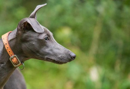 Whippets Face