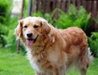 Senior Golden Retriever