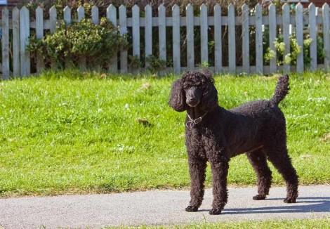 Adult Standard Poodle