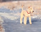 White Lakeland Terrier