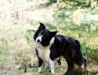Welsh Collie In Water