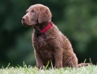 Chesapeake Bay Retriever Puppy