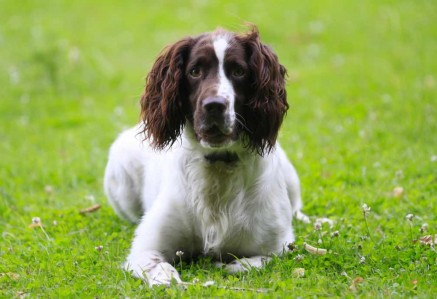 Adult Sprocker