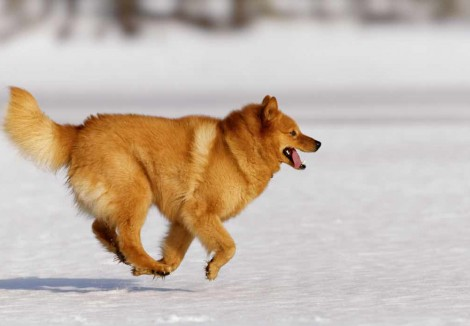 Finnish Spitz Running