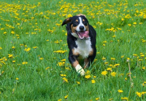 Entlebucher Mountain Dog Playing