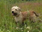 Senior Glen of Imaal Terrier