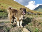 Adult Caucasian Shepherd Dog