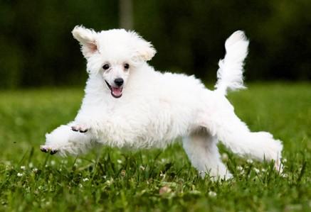 Miniature-Poodle.jpg